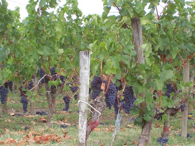 St Emillion Macarons Vineyard, Bordeaux