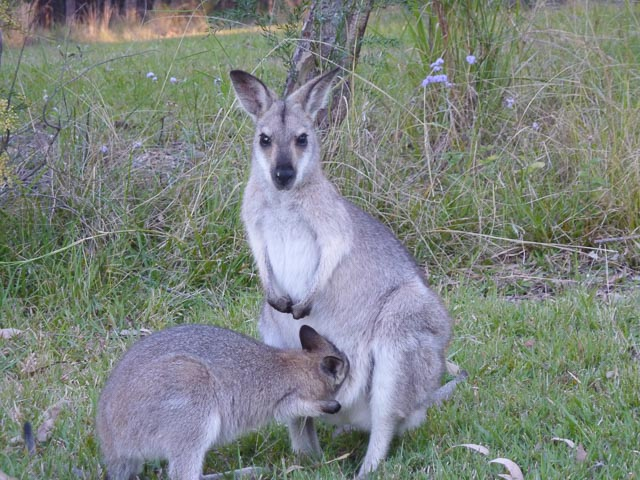 Sirromet wallaby blog version