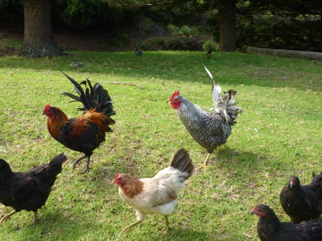 chicken roam free on Norfolk Island