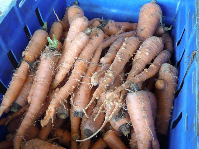 The gnarliest carrots I've ever seen...