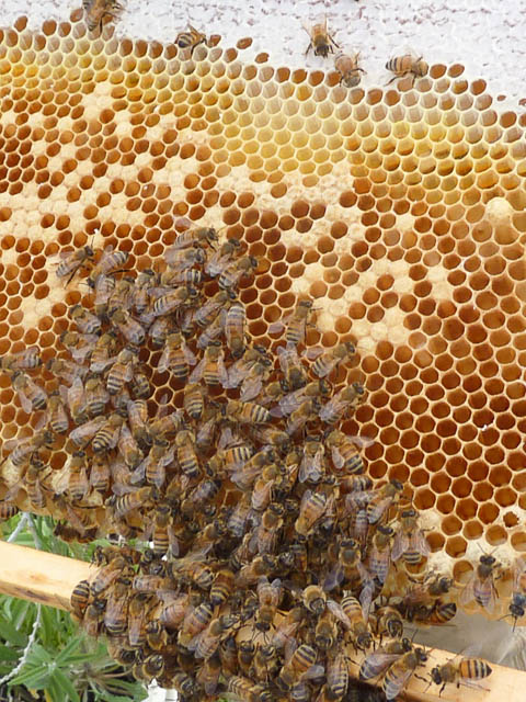 bees swarming around honeycomb and brood cells