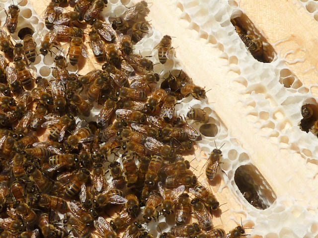 Bee One Third Bee Closeup