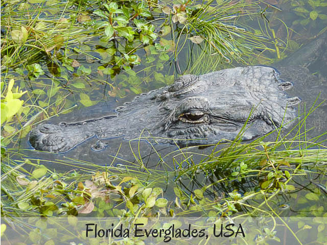 USA, Florida Everglades - wild aligator closeup