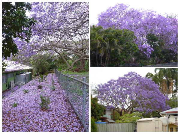 Brilliant purple jacarandas in bllom against grey Brisbane skies