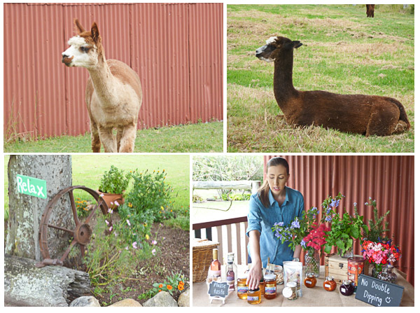 Small alpaca chews its food, alpaca sitting on grass,attractive garden with old tractor wheel, woman demonstrating local foods of the Scenic Rim