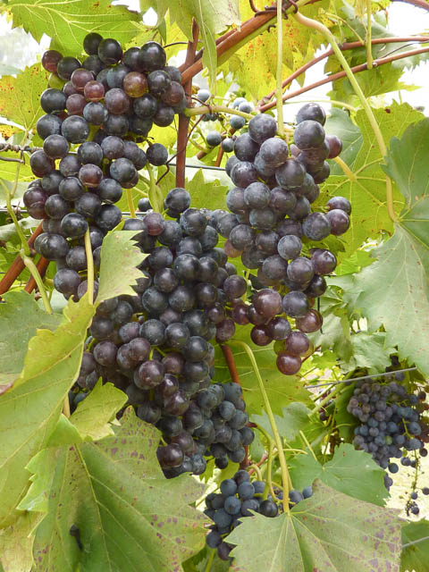 Large clusters of Chambourcin wine grapes, ripe and ready for picking in the Scenic Rim