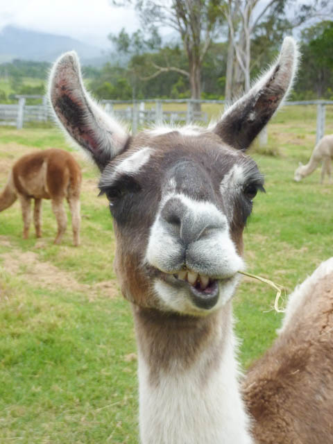 A llama chews its food as it considers the photographer in the Scenic Rim