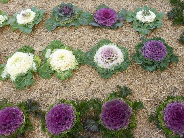 Queensland Food Festivals. Colourful cabbages in purple, green and white planted in the ground.