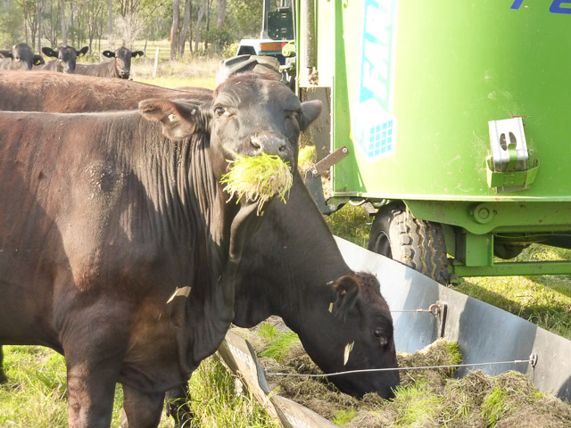 cows enjoying the spruots from the feed trough at tender sprouted meats