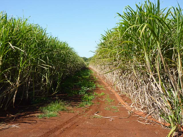 the cane fields of wide bay-burnett with a red soild road through the middle