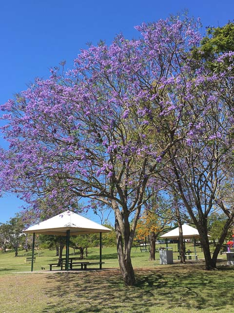 Brisbane Jacaranda Season with jacrandas blooming in a park