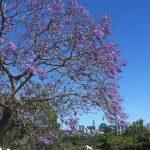 Brisbane Jacaranda Season - jacarandas in bloom with the Brisbane CBD in the background