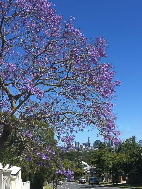 Brisbane Jacaranda Season - jacarandas in bloom with the Brisbane CBD in the background