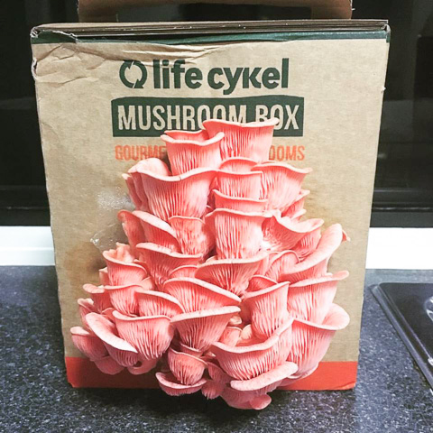 oyster mushrooms grow out of a box of coffee compost