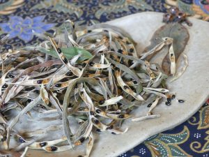 dried wattle seeds still in pod piled on plate