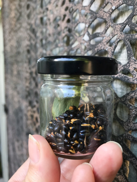 toasted wattle seeds in small jar with a black lid