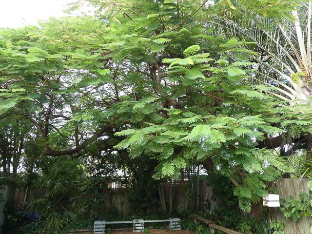 large poinciana tree over hanging fence