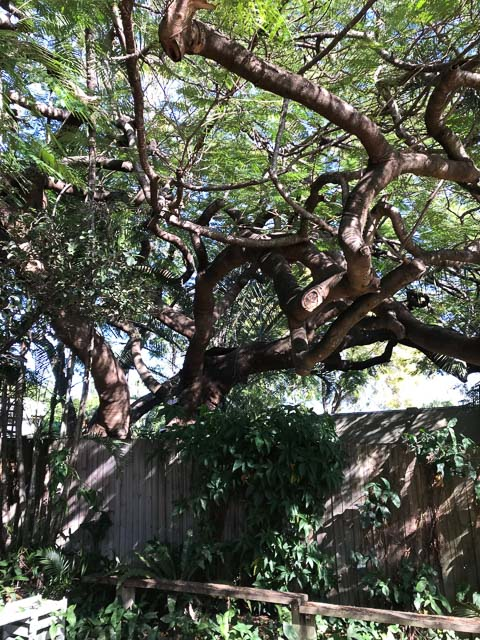 large poinciana tree with thick branches