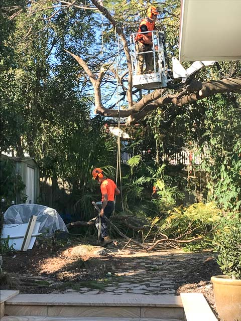 two workmen in protective clothing and hats chainsaw down a large tree, using a cherry picker